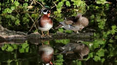 A pair of wood ducks preening themselves while some mallards swim by in a pond Stock Footage