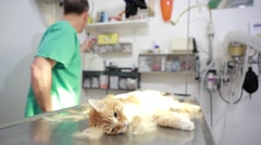 Anesthetized cat at veterinary - stock footage