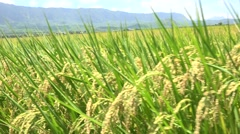 Green field with rice stalks swaying in the wind, 4K Stock Footage