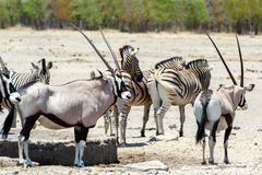 Oryx gazella and zebra in etosha - stock photo
