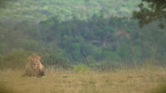 Regal male lion - stock footage