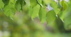Fresh green leaves tree branch blur spring garden background Shallow DOF - stock footage