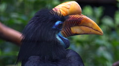 4k Knobbed Hornbill bird very close up portrait Stock Footage