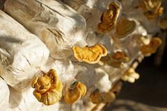 Lingzhi mushroom, ganoderma lucidum in nursery bag Stock Photos