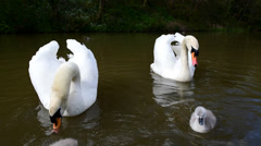 Swan Chicks - stock footage