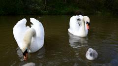Swan Chicks Stock Footage