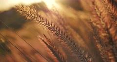 Beautiful field of yellow wheat grass at sunset. Closeup, shallow DOF. 4K UHD Stock Footage