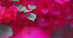 Slider shot of beautiful red pink flowers garden background. 4K UHD. - stock footage