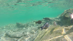 Rainbow Wrasses and Surgeonfishes Stock Footage