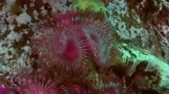 Sea Life Feather Duster Worm on  seabed. Stock Footage