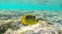 Rainbow Wrasses and Surgeonfishes and Butterflyfishes Stock Footage