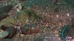 Flounder on the stone seabed is looking for food. - stock footage