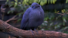 Blue Coia bird close up on tree branch Stock Footage