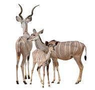 Greater kudu Stock Photos