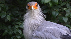 4k Secretarybird close up cleaning his feathers plumage Stock Footage