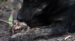 Homeless dog eating a bone Stock Footage