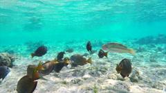 Dark Tropical Surgeonfishes Among the Algae Stock Footage