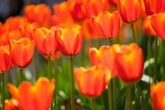 Beautiful tulip Stock Photos