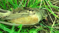 Close up of dead bird laying  on grass, 4k, UHD,slow move from righ to left   - stock footage