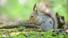 Grey squirrel eating food from its paws in the forest Stock Footage