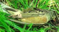 Close up of dead bird laying  on grass, 4k, UHD, zoom out, sound Stock Footage