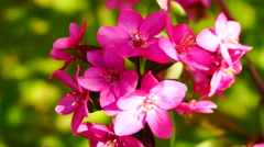 Pink wax cherry tree  flowers blooming in springtime wind, close up Stock Footage