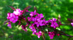 A branch of pink wax cherry tree  flowers blooming in springtime wind - stock footage