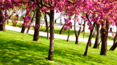 Pink wax cherry tree  flowers blooming in springtime wind - stock footage