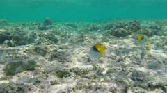 Threadfin Butterflyfish (Chaetodon Auriga) Underwater Stock Footage
