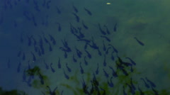 School of fish and reflection of trees in water, top view Stock Footage