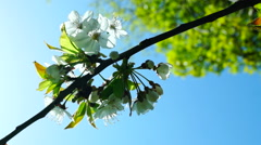 Blossom trees orchard spring fruits flowersand ant. Blooming cherry tree flower Stock Footage