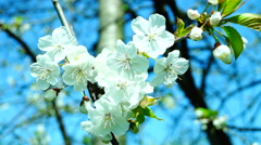 Blossom trees orchard spring fruits flowers and indigo sky. Blooming cherry tree - stock footage