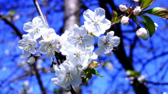 Blossom trees orchard spring fruits flowers and blue sky. Blooming cherry tree  Stock Footage