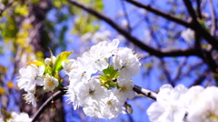 Blossom trees orchard spring fruits flowers, blue sky. Blooming cherry tree  Stock Footage