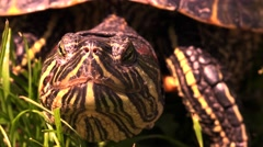 Close up of turtle head and eyes blinking slowly Stock Footage