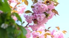 Sacura Blossom Inflorescence Stock Footage