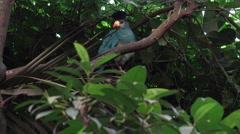 4k Crested Wood-partridge bird sitting overhead on tree branch Stock Footage