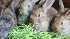 Bunnies in hutch eating fresh grass Stock Footage