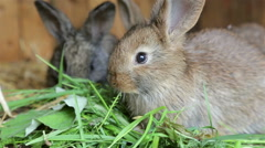 Young rabbits eating grass in of a hutch Stock Footage
