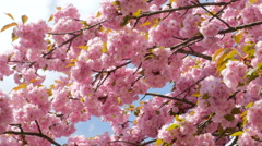 Sacura Blossom Multiple Branches Stock Footage