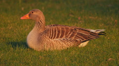 Greylag goose (Anser anser) during sunset Stock Footage