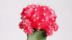The cactus gymnocalycium mihanovichii variegata rotates round an axis Stock Footage