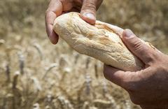 Hands holding white wheat bread with wheat in the background with copy space. - stock illustration