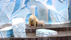 Female polar bear feeding baby Stock Footage