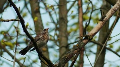 fieldfare (Turdus pilaris) - stock footage