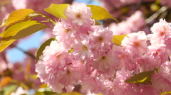 Sacura Blossom With Green Leaves Extreme Closeup Stock Footage