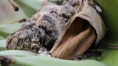 Baby birds waiting for food from the mother. Stock Footage