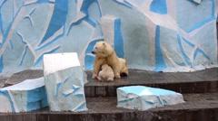 Female polar bear feeds the little bear Stock Footage