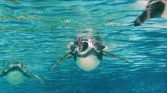 Humboldt Penguin (Spheniscus Humboldti) Stock Footage