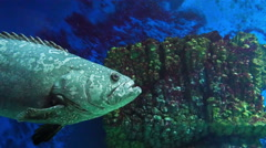 Gray Spotted Grouper Stock Footage